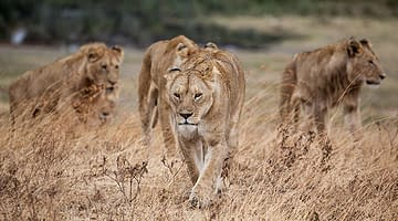 5 of the best places to see lions in the wild
