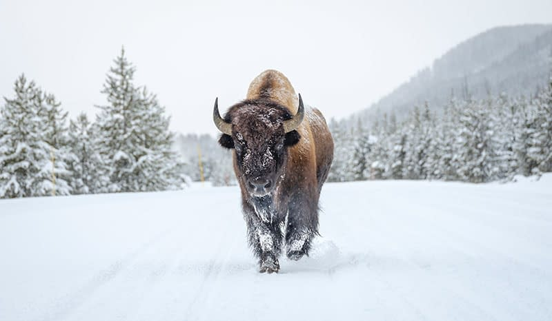 bison, yellowstone national park, jackson hole, wyoming, into the wild, wilderness, adventure, photography, dan avila