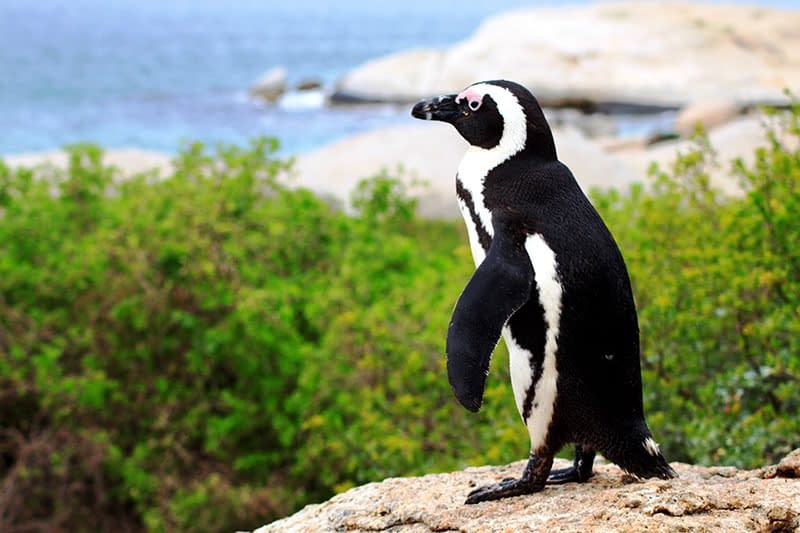 African Penguins, Bench Africa, things to do in Cape town, South African Safari